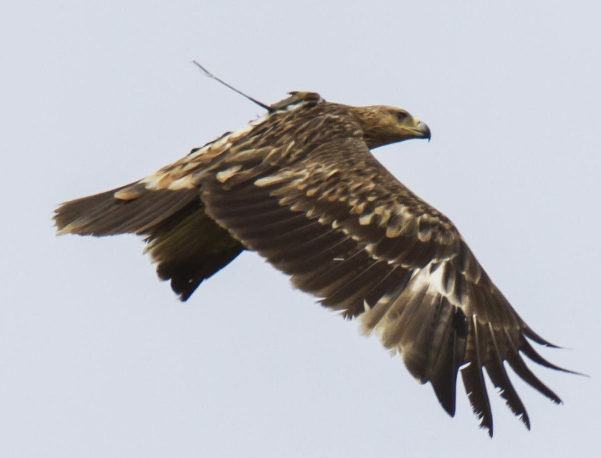 Gabi the tagged Imperial Eagle in Pantelleria